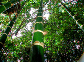 Guadua bamboo thrives in Maui jungle