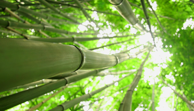 bamboo grows wild on Maui